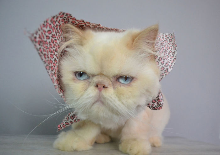 Lord Aries Cat Alertness Animal Animal Photography Animals Beautiful Blue Eyes Cat Cats Close-up Comfortable Curiosity Cute Domestic Animals Domestic Cat Feline Himalayan Indoors  Kitten Kittens Kitty One Animal Persian Pet Pets