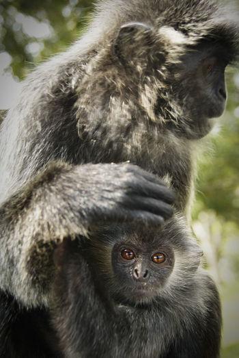 Close-up of black monkeys
