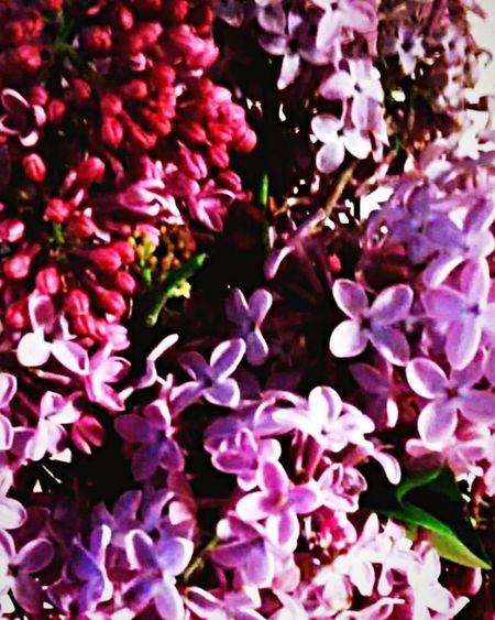 Hand picked purple Flower Growth Fragility Nature Freshness Beauty In Nature Purple Plant No People Spring Blooming Outdoors Lilac Day Close-up Flower Head