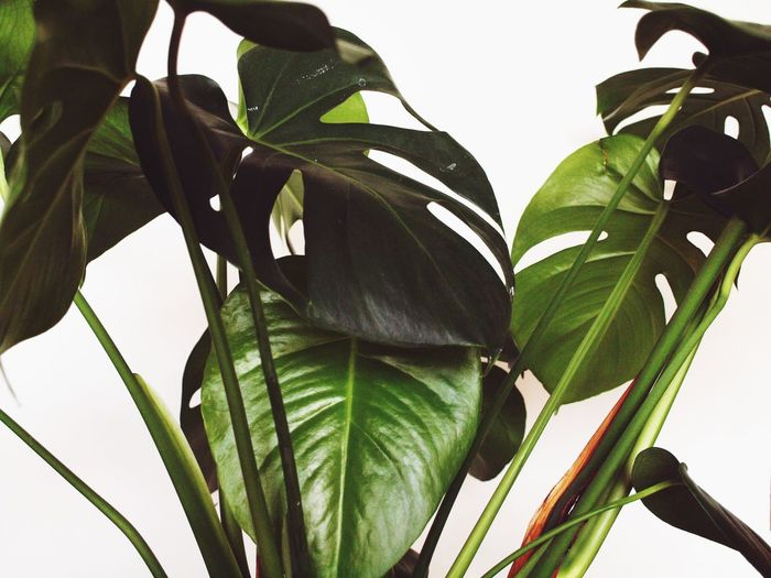 A Monstera in
