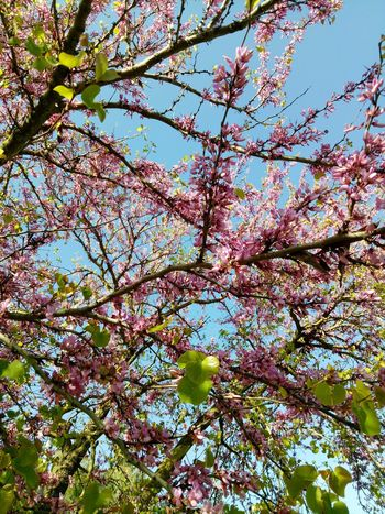 S P R I N G. Sky Tree Nature No People Outdoors Clear Sky Close-up Freshness Sunlight Beauty In Nature Branch Spring Algeria Algeria Photography Algérie Alger Sakura Trees Sakuraflowers 2017 April Day Backgrounds Low Angle View Fragility Growth First Eyeem Photo