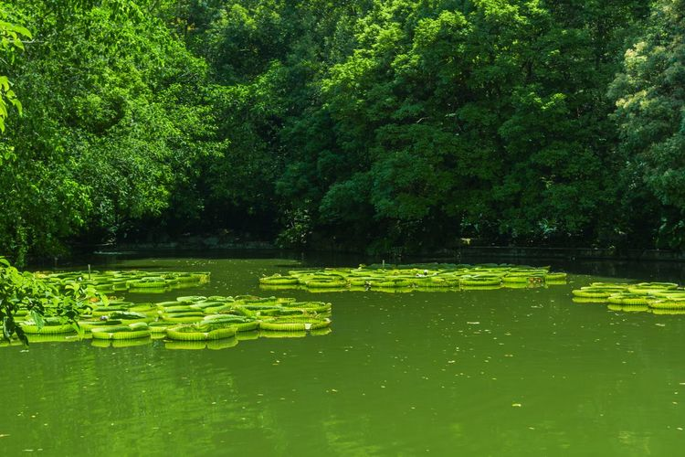 Beauty In Nature Day Floating On Water Freshness Grass Green Color Growth Lake Leaf Lily Pad Nature No People Outdoors Plant Reflection Scenics Tranquil Scene Tranquility Tree Water Water Lily Waterfront 南宁青秀山