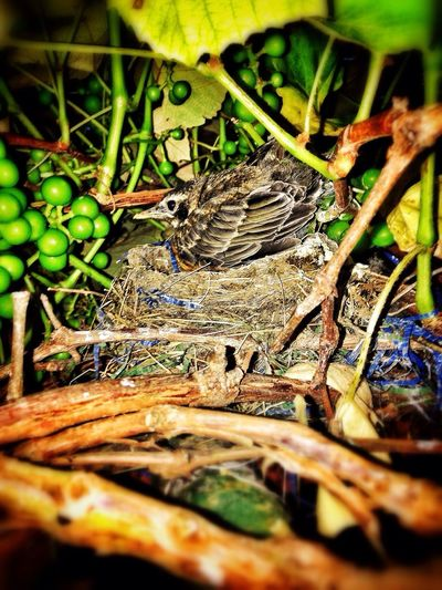 Bird Through The Grapevine Nature baby Robbin IPhoneography Baby Robin Bird Grapevine Nest New Life Outdoors Outside Home Dwellin Dry Leaf Tree Wildlife Beginnings
