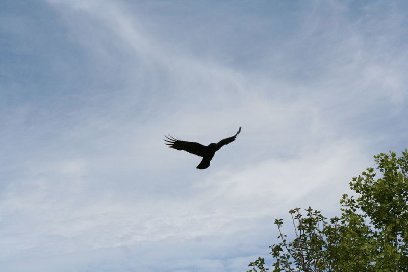 Avian Beauty In Nature Bird Blue Cloud Cloud - Sky Cloudy Day Flying Freedom Low Angle View Mid-air Nature No People Outdoors Raven Scenics Sky Spread Wings Tranquil Scene Tranquility Wildlife Fine Art Photography EyeEm Nature Lover
