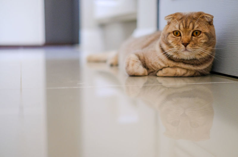 Portrait of cat relaxing on floor at home