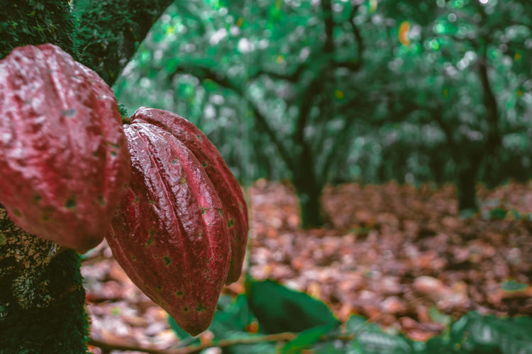 Close-up of cacao growing on tree