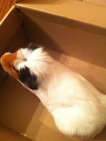 My Guinea Pig! In my shoe box! She dnt wanna be in her cage but she wanna be in a box!