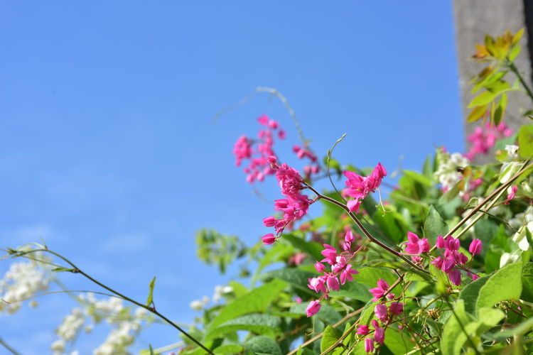 Low angle view of pink flowering plant against blue sky
