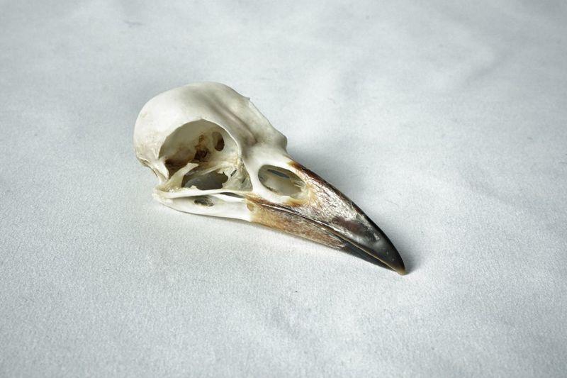 corvus frugilegus Rook Rook Skull Bird Skull Skull Bone  Close Up Texture Mortality Death Clean Cloth Fabric Nature Single Object Animal Body Part Still Life