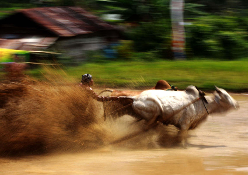Local Gather Cow Race Pacu Jawi' in West Sumatra - Photo Story Close-up Day Focus On Foreground Grass Mammal Nature Outdoors Pacu Jawi Part Of Selective Focus The Photojournalist - 2016 EyeEm Awards Need For Speed
