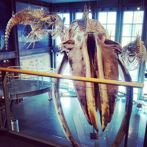 """Having a """"whale"""" of a time at the Newbedford @whalingmuseum. Here are four complete skeletons: from left, a 15-year old female Northern Right Whale and her unborn 12-month old fetus, a juvenile Blue Whale (with about 10-15 feet more to grow), and a humpback Whale ."""