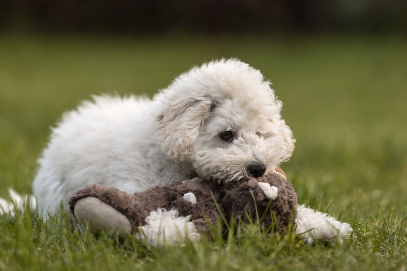 Dog playing with stuffed toy on grass