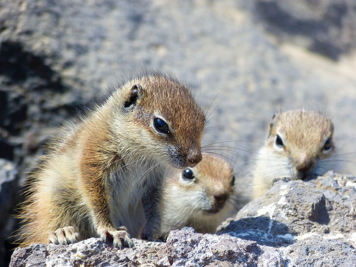Animal Themes Animal Wildlife Animals In The Wild Animals In The Wild Animals Of Eyeem Atlashörnchen Baby Animals Close-up Cute Animals Erdhörnchen Fuerteventura Mammal Berberhörnchen Barbary Ground Squirrel Ground Squirrel Cuteness Overload Canary Islands Focus On Foreground