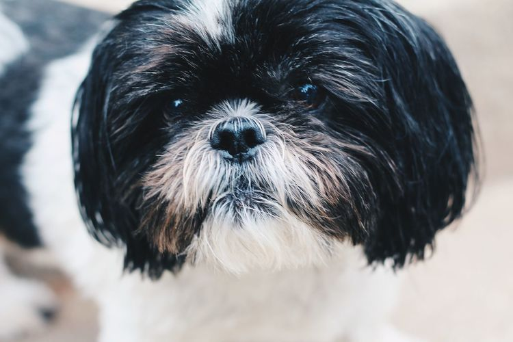 EyeEm Selects Pets Portrait Dog Looking At Camera Wet Cute Black Color Close-up Animal Hair Lap Dog Lap Dog Shih Tzu Mixed-breed Dog Hairy  Animal Face Highland Cattle Chihuahua - Dog Border Collie Pomeranian Puppy Cavalier King Charles Spaniel Canine Panting Pampered Pets Purebred Dog Terrier Pug Snout Yorkshire Terrier