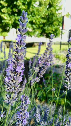Flower Purple Nature Lavender Fragility Lavender Colored Beauty In Nature Growth Plant No People Day Outdoors Field Green Color Close-up Freshness Scented Springtime Flower Head Levendula