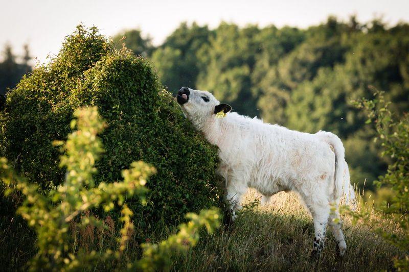 Zunge raus 😂 Galloway Animals Blackandwhite Animal Photography Nature Naturelovers EyeEm Nature Lover Germany Stiftungsland EyeEm Gallery