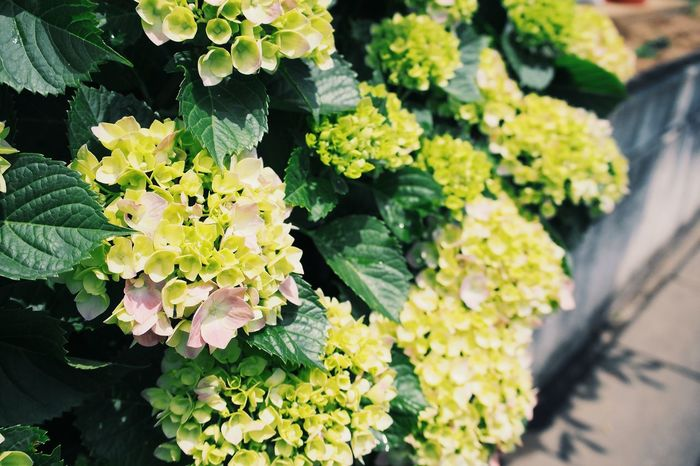 紫陽花咲く前 Freshness Flower Plant Flowering Plant Nature Plant Part High Angle View Healthy Eating Food And Drink Fragility Day Vulnerability  Close-up Growth Green Color Leaf No People Beauty In Nature Sunlight Food
