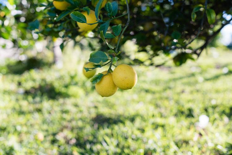 Close-up of lemon tree
