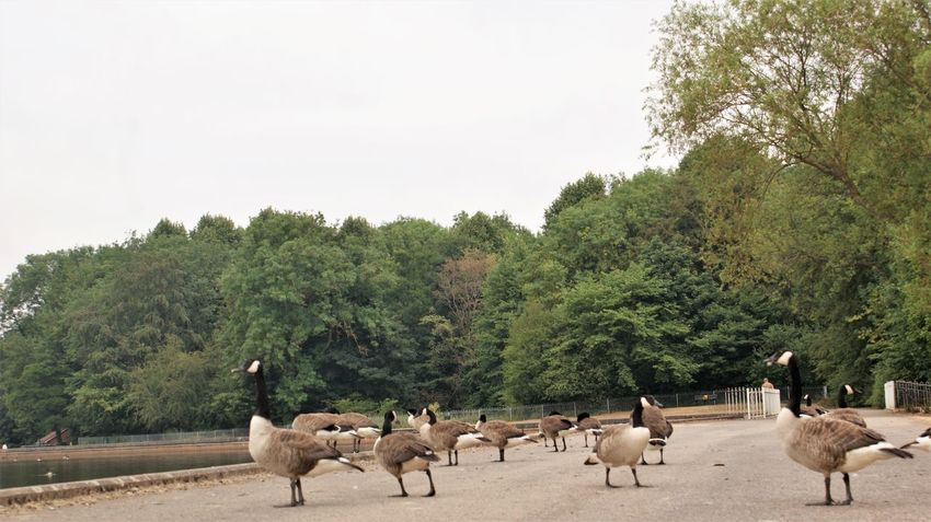 Geese Agriculture Animal Animal Themes Animal Wildlife Animals In The Wild Canada Geese Day Domestic Domestic Animals Group Of Animals Herbivorous Herd Land Large Group Of Animals Livestock Mammal Nature No People Outdoors Pets Plant Sky Tree Vertebrate