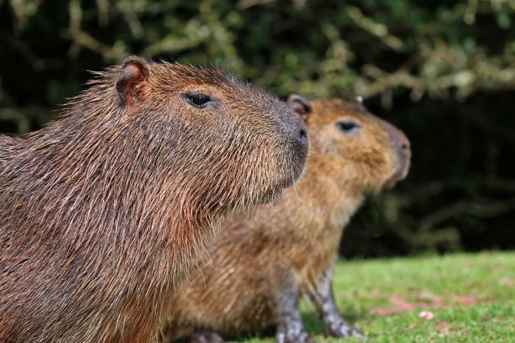 Side view of capybaras looking away