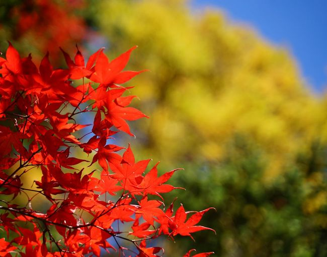 Close-up of red maple leaves on plant during autumn