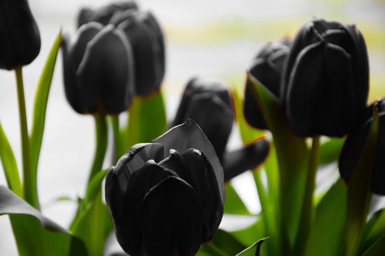 Close-up of black tulip