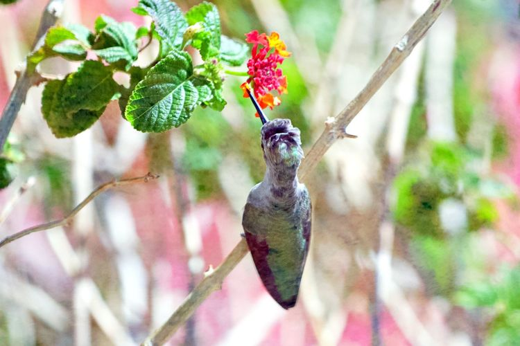 Animal Themes One Animal Animal Wildlife Animals In The Wild Animal Vertebrate Bird No People Focus On Foreground Hummingbird Plant Part Beauty In Nature Close-up