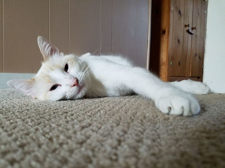 EyeEm Selects Pets Domestic Cat Domestic Animals One Animal Animal Themes Feline Mammal White Color Indoors  No People Day Close-up Springtime Spring Siamese Cat Siamese Flame Point Siamese Cat Cat Relaxing Pet White Laying Down Animal White Cat