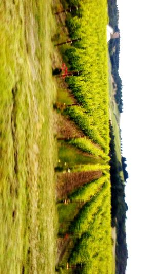 Original Experiences Vino Vineyards  Oregon Wine Enjoying Life Willamette Valley Beautiful I TookThis Picture!!! EyeEm Best Shots - Nature Eyem Gallery EyeEm Nature Lover On My Commute Feel The Journey Good Morning Meinautomoment Colors The Innovator The Great Outdoors - 2016 EyeEm Awards Grapes Oregon Winery