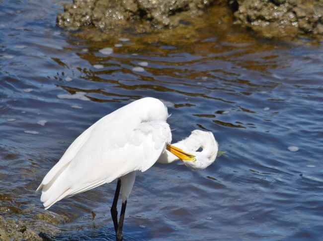 Egret Preening One Animal Animals In The Wild White Color Water Animal Wildlife Bird Animal Themes Day Nature Outdoors No People Great Egret Beak Sebastian Inlet State Park Sebastian, Fl