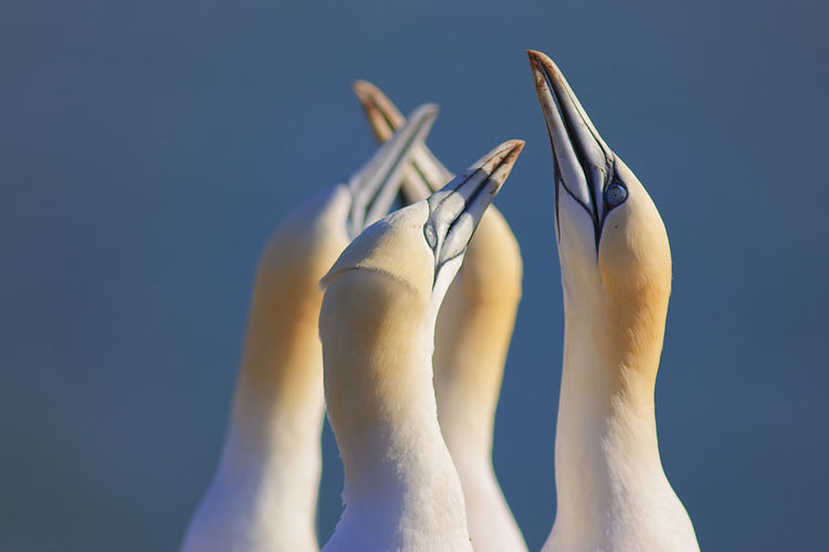 Close-up of northern gannets
