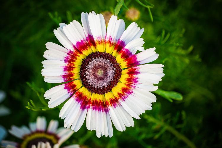Close-up of purple daisy flower