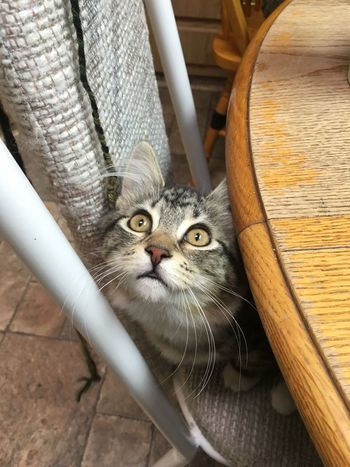 Look, there's a fly! Cat Cute Goofball Tabby Tabby Cat Wide Eyes Focused Domestic Cat Pets Feline