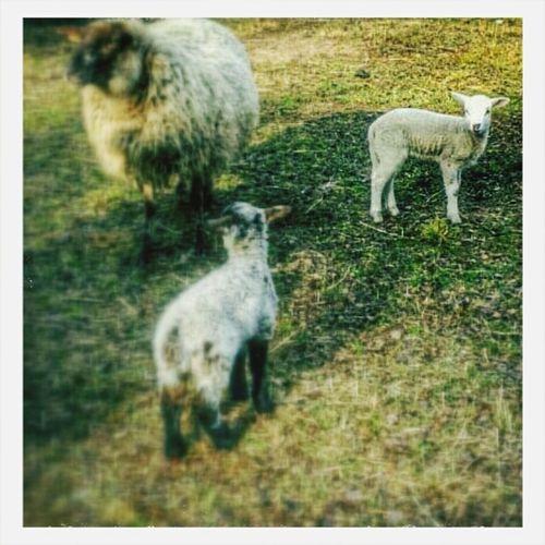 mähh. Animals Sheeps