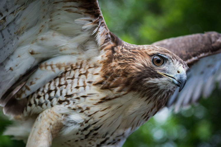 Animal Animal Body Part Animal Head  Animal Themes Animal Wildlife Beauty In Nature Bird Of Prey Close-up Day Feather  Focus On Foreground Nature No People Outdoors Selective Focus Wildlife Hawk