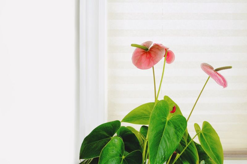 Simplicity Curtain Leaves Green Leaves Flowers Quite Place Anthurium Flower Flower Head Anthurium Window Redhead Still Life Plant Leaf Plant Part Flowering Plant Flower Freshness Growth Beauty In Nature Vulnerability  Fragility Nature Close-up Petal Green Color Indoors  Flower Head Plant Stem Wall - Building Feature