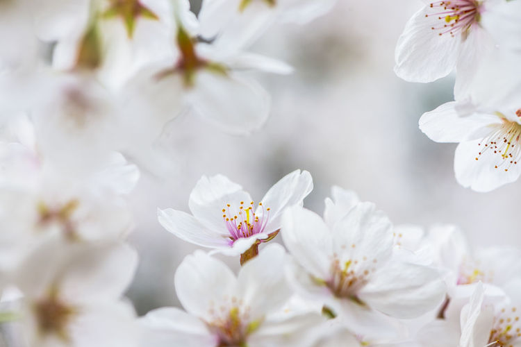 Close-up of white cherry blossom flowers