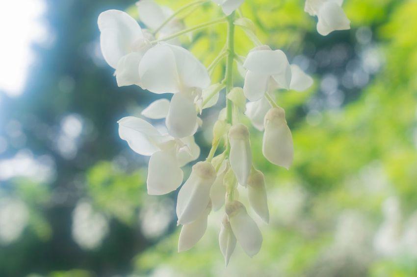 白カピタン 藤の花 Flowerlovers Butterfly Flowers Flower Photography Flowers, Nature And Beauty Flower Collection EyeEm Japan 花 白色 4月