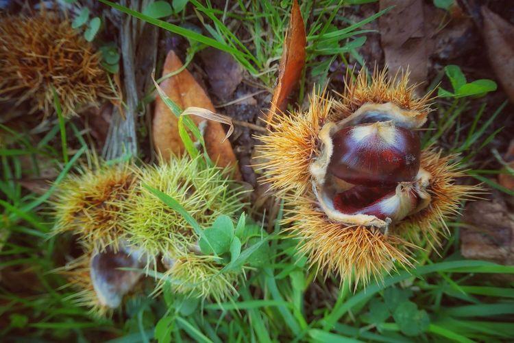 """"""" Castaña que esta no camiño, é do veciño. """" """" Castaña que está en el camino es del vecino """" ... Castañas Castagne EyeEmNewHere EyeEm Nature Lover A New Beginning Natura Close-up Plant"""