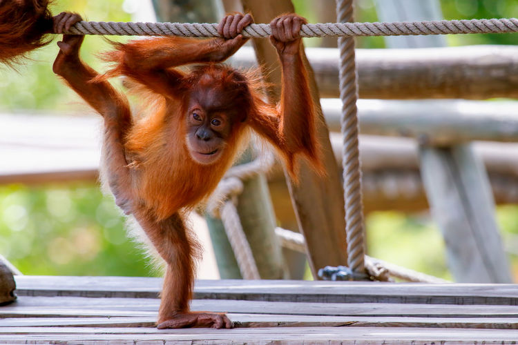 Young Orangutan Playing With Rope At Zoo