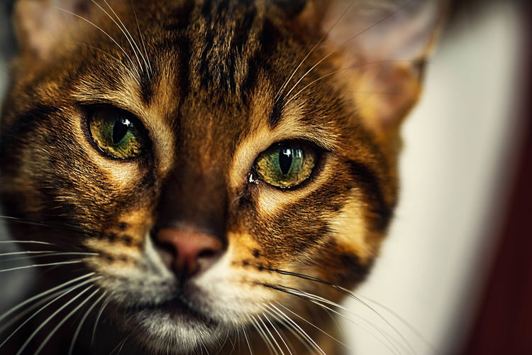 Kitten Baby Cat Pets Portrait Feline Looking At Camera Domestic Cat Whisker Close-up Leopard Yellow Eyes Animal Markings Animal Eye Animal Nose Cat Family Tabby Cat Eye Spotted Tiger HEAD Animal Antenna