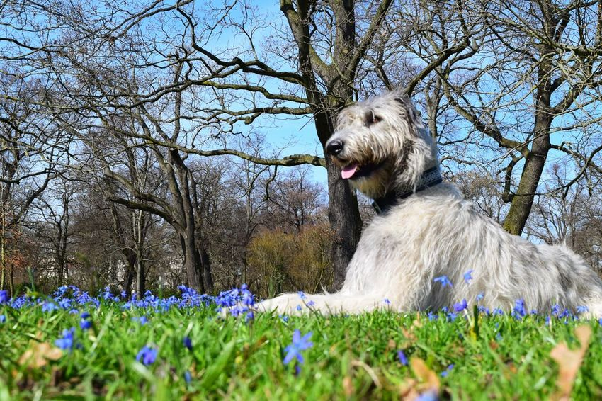Animal Themes One Animal Low Angle View Grass Flower Outdoors Dogwalk Dogs Of Spring Dog Of The Day Grass Dogs Of EyeEm Dogslife Irish Wolfhound Cearnaigh Wildflower Blue Flower Head A Walk In The Park How Is The Weather Today? Purple March 2017 Spring 2017 Spring Is In The Air Springtime Sunlight