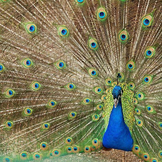 Peacock Pavone Pantone Colors By GIZMON Colors
