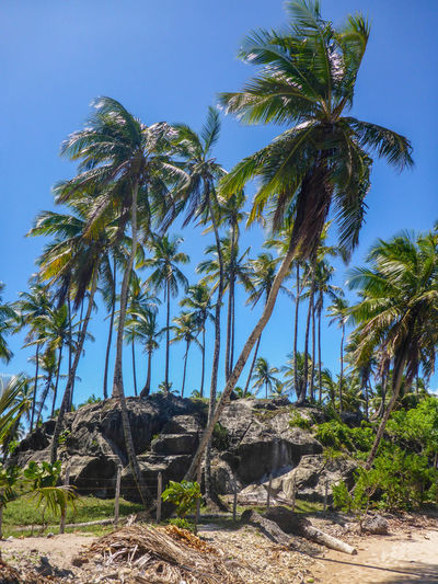 Beach Beauty In Nature Blue Clear Sky Day Green Color Growth Low Angle View Morro De São Paulo Nature No People Outdoors Palm Tree Scenics Sky Tranquility Tree Tree Trunk