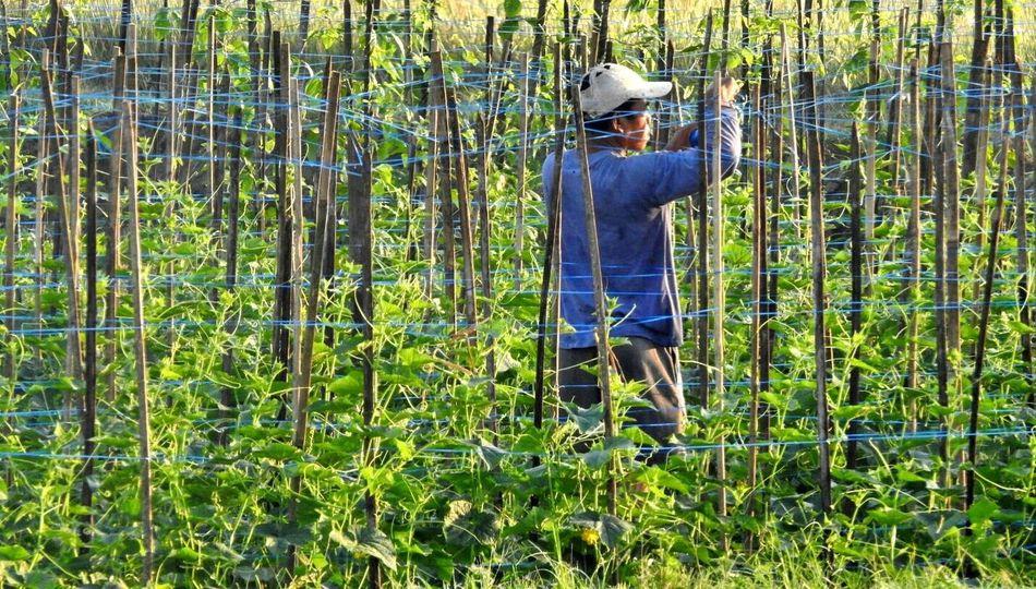 Yardlong Bean Farmer The Great Outdoors - 2017 EyeEm Awards