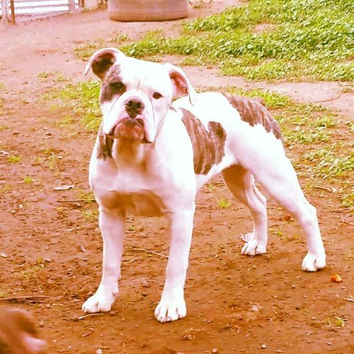 One of a Kind's Foxy Roxy. Roxy is a daughter of One of a Kind's Lady Lumps aka Lumpy and One of a Kind's He's Got Swagger aka MoJo pictured at 8 months old. She is a 2nd Generation One of a Kind Bulldog and we are very happy with her turn out so far. Oneofakindbulldogs Bulldogs Bulldog Oldeenglishbulldogges oldeenglishbulldogge oldenglishbulldogs oldenglishbulldog premierbreeder oeb victorianbulldogs bullyinstagram bullyinstafeature keepitbully staybully bullylife SanDiego SoCal californiadreamin SD lovemylife dogoftheday follow4follow bulldogge