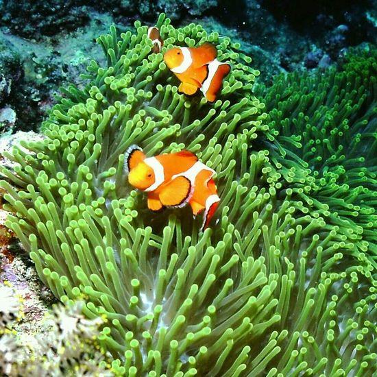 カクレクマノミ Clown Anemonefish Under Sea Nature_collection Nature at 西表島ヨナラ水道