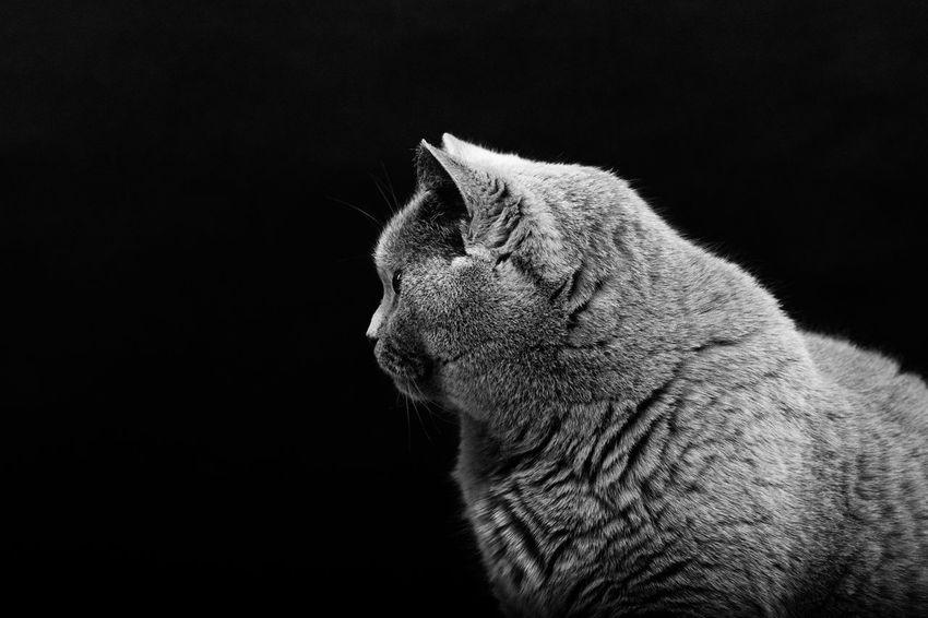 Animal Animal Head  Black Background Blackandwhite British Shorthair Cat Close-up Domestic Domestic Animals Domestic Cat Feline Looking Looking Away No People One Animal Pets Profile View Side View Studio Shot Whisker