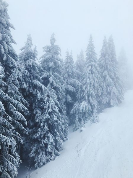Snow Snow Winter Tree Cold Temperature Plant Beauty In Nature Nature Pine Tree Tranquility Frozen Tranquil Scene Scenics - Nature Land Forest No People WoodLand Extreme Weather Coniferous Tree White Color Day