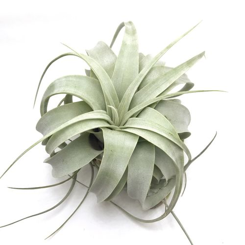 Airplants Tillandsi Plant Tillandsia Tillandsia Cotton Ca Tillandsia Stricta Airplants Bulbos Close-up Cotton Candy Indoor Plant Indoor Plants No People Plants And Flowers Tillandsia Xerographica Tillandsia Bulbosa Tillandsia Velutin White Background Xerographica First Eyeem Photo